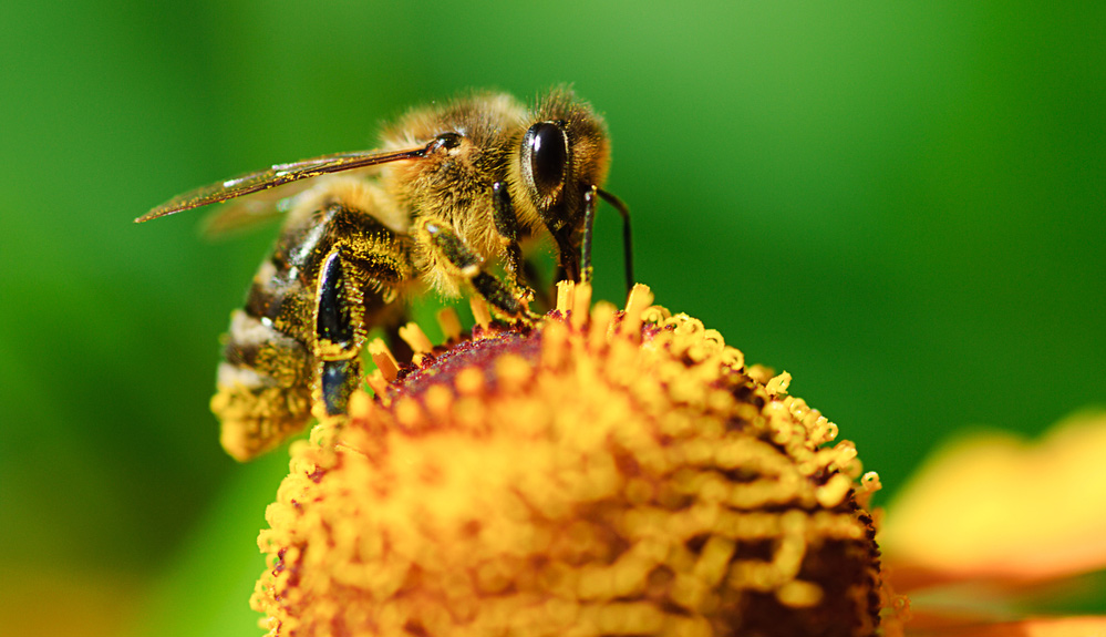 Biene auf Blume mit Pollen