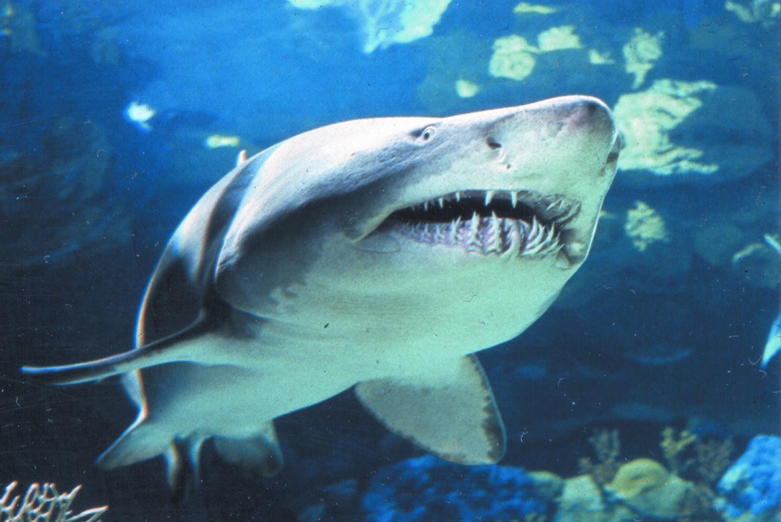Gambar Ikan Hiu Koboi