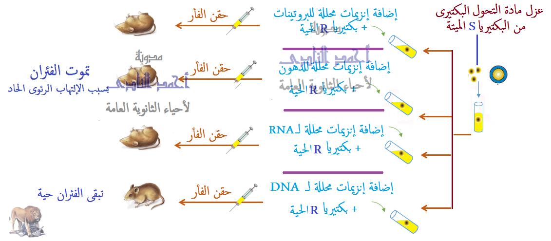 الحمض النووى ديؤكسى ريبوز DNA - الأدلة على أن DNA  هو المادة الوراثية - التحول البكتيرى  - تجربة إفرى ومعاونوه - التجربة الحاسمة