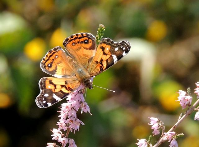 Seguimiento de mariposas BMS en Pontevedra