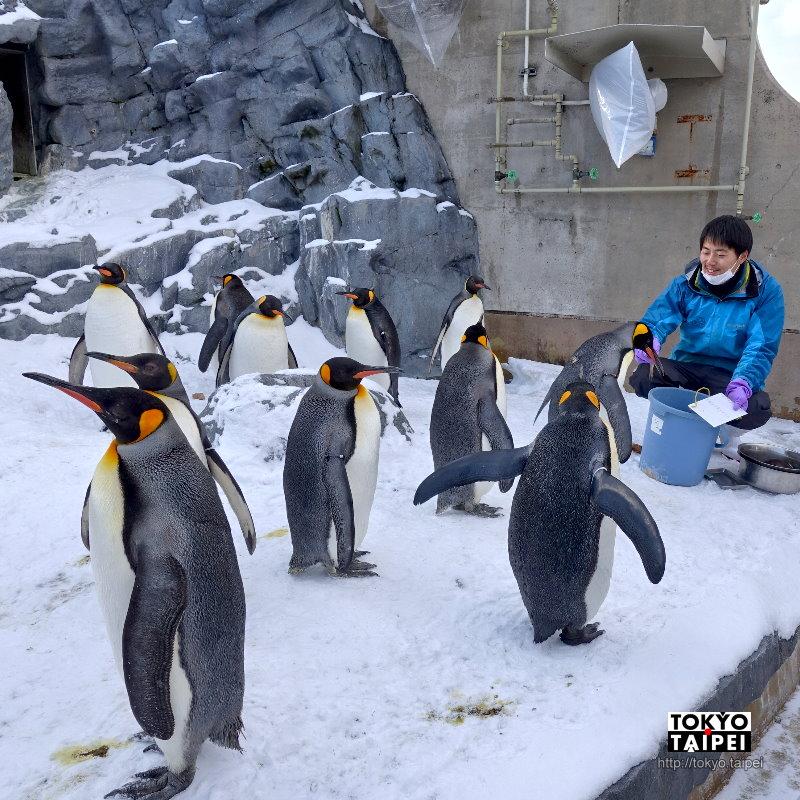 【旭山動物園】奇蹟的動物園 看企鵝飛上天和雪地散步