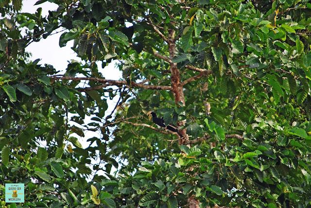 Hornbill en Río Kinabatangan, Borneo (Malasia)