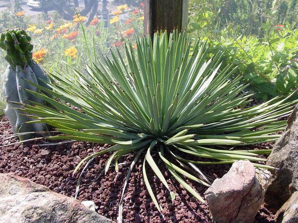 #Iúca ou #Yucca, Plantas da Família das Liliáceas