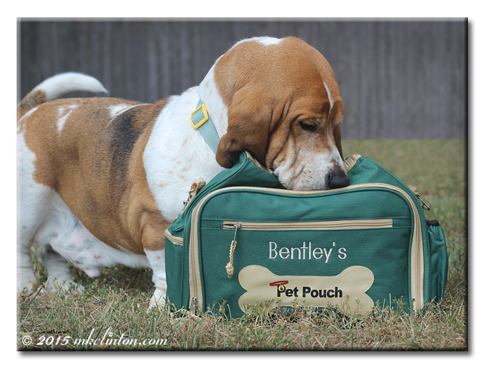 Basset Hound looking in green overnight bag