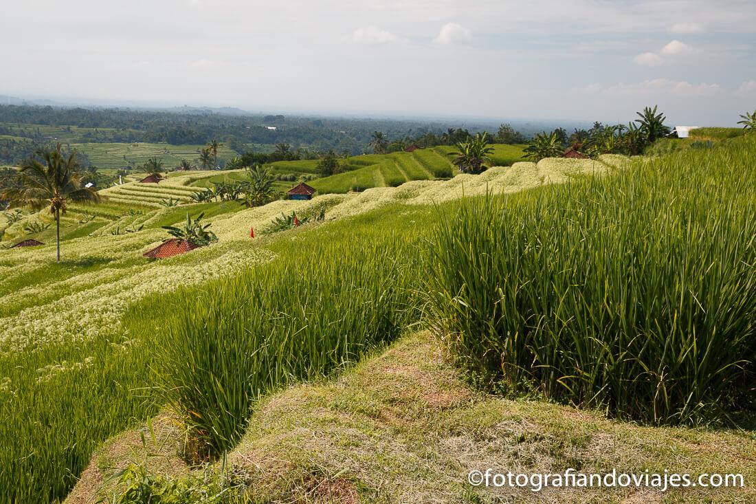 Arrozales Jatiluwih Bali