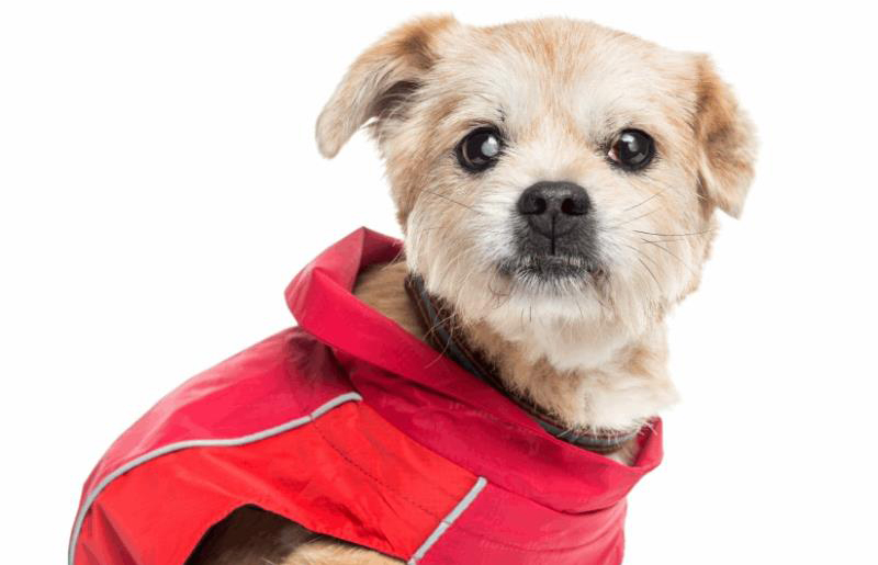 How Quickly Can Cataracts Develop In Dogs