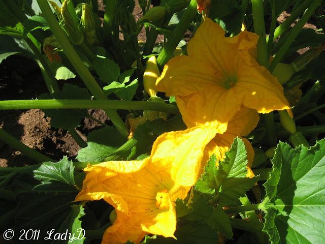 Squash Plant Blossoms: LadyD Books