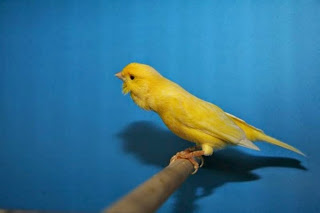 "Burung Kenari Roller - Solusi Penangkaran Kenari - Mengenal Burung Kenari Roller - Burung Kenari Pelagu "" Song Canary"""