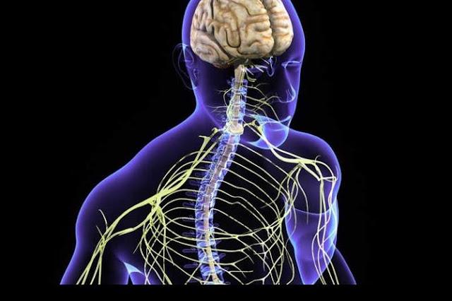 الجهاز العصبي عند الإنسان
