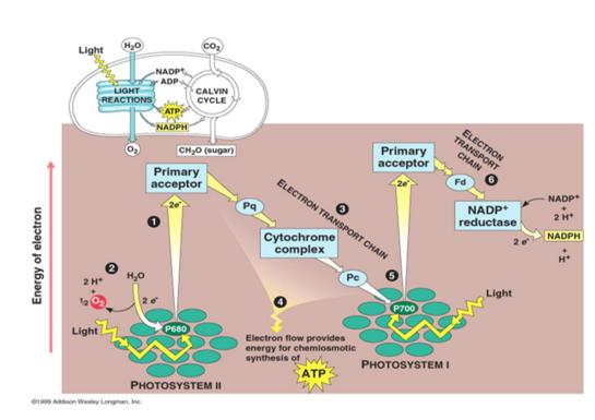 Reaksi Terang Dalam Fotosintesis