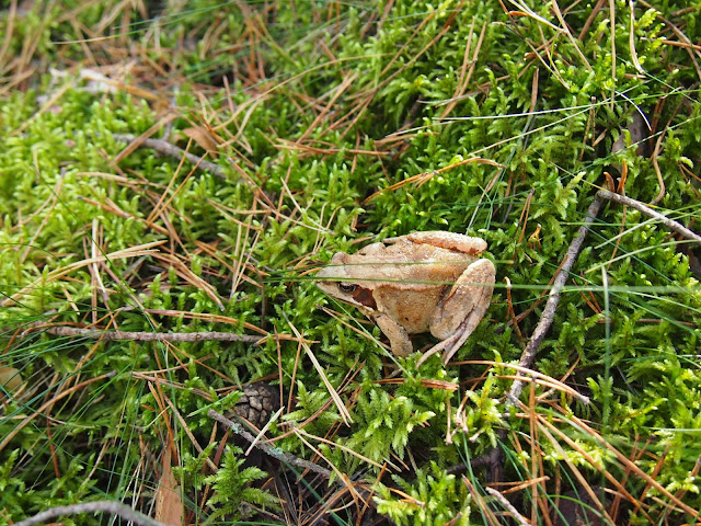 a forest frog