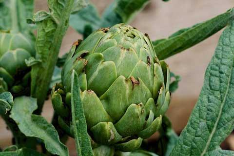 Manfaat Artichoke untuk kesehatan