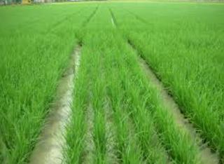 System of rice intensification atau dikenal d Kabar Terbaru- MENGENAL BUDIDAYA PADI SISTEM SRI
