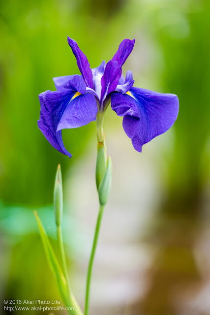 花びらの形が整った青紫色の菖蒲の写真