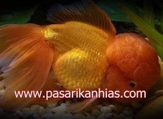 Ikan hias Mas Koki Choten Gen