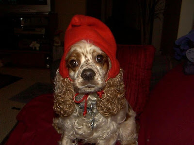 spaniel in a red hat