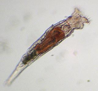 rotiferă