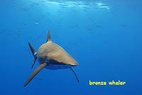 gambar ikan hiu bronze whaler dari depan