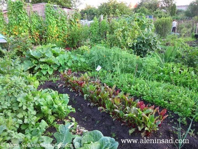 аленин сад, aleninsad, целина, весна, сныть, вьюнок, сорняки, борьба с сорняками, георгины, капуста. свкла, морковь, лук, компост в мешках