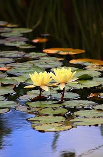Gambar Bunga Teratai Terindah di Dunia 2