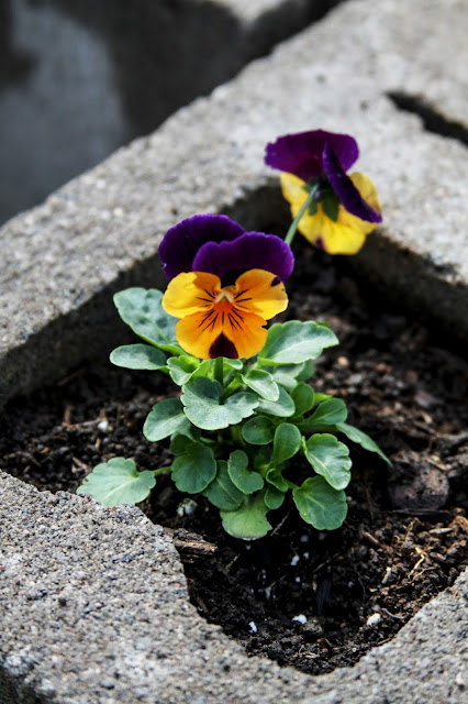 violas, spring, spring flowers, cinder blocks, cinder block raised bed, gardening, Anne Butera, My Giant Strawberry
