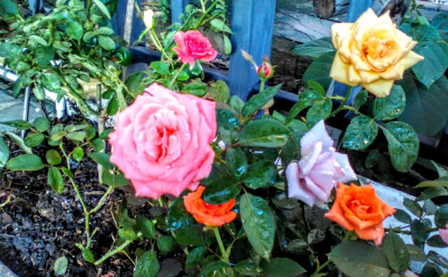Interesting Facts About Roses