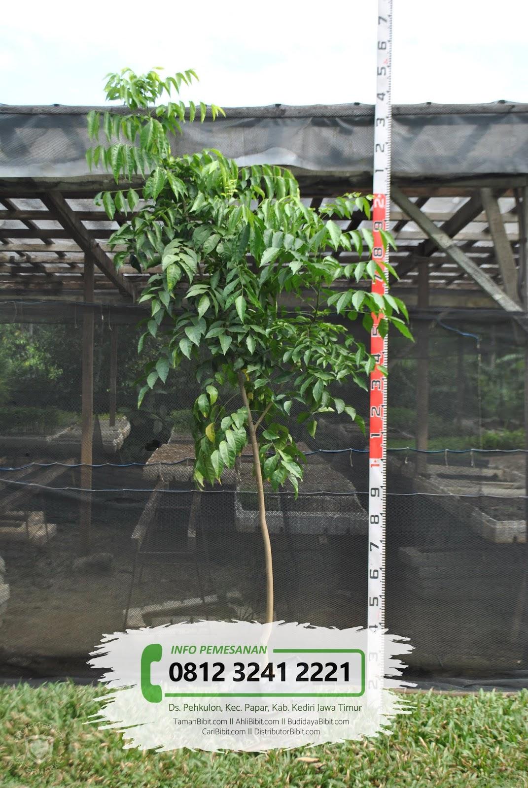 Jual Bibit Pohon Kayu Manis