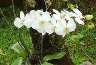 Bunga Anggrek Bulan Putih