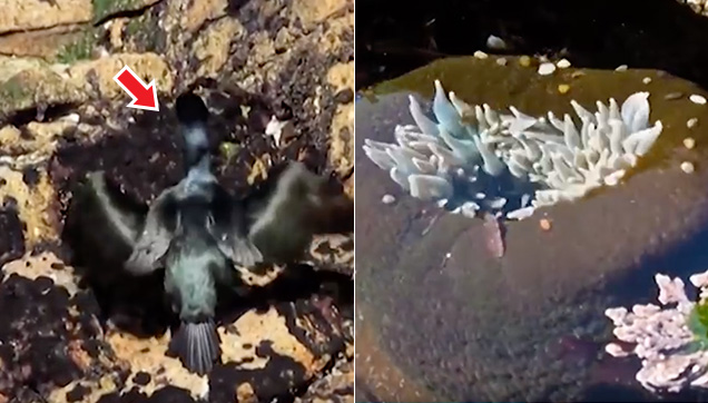 The Cormorant Bird and the Sea Anemone
