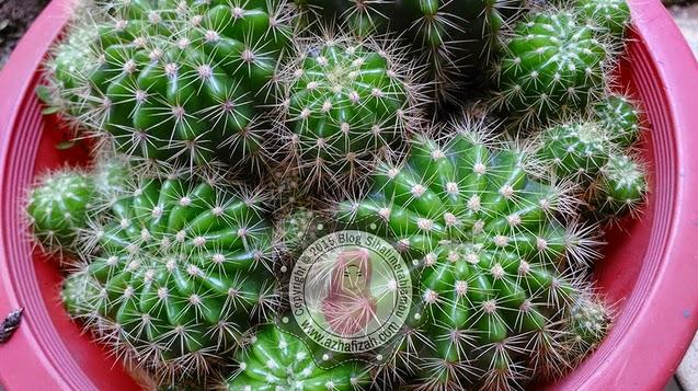 Pokok Kaktus