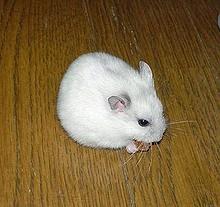 Các Loại Chuột Hams