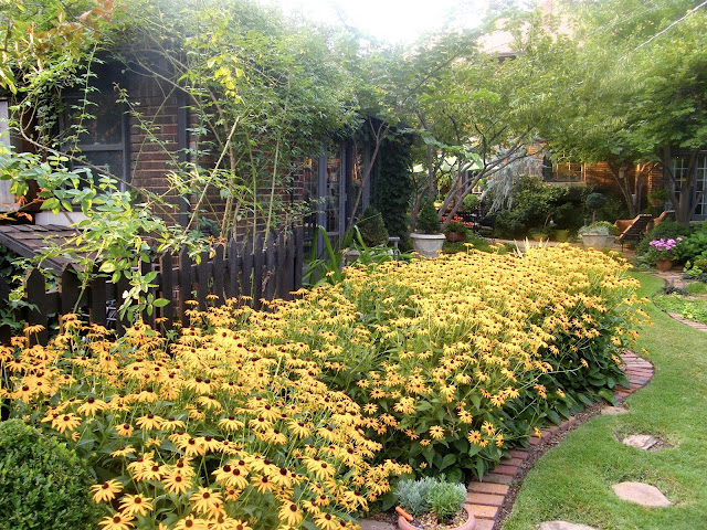 Large swath of black-eyed susans in front of a dark picket fence and bordered in brick