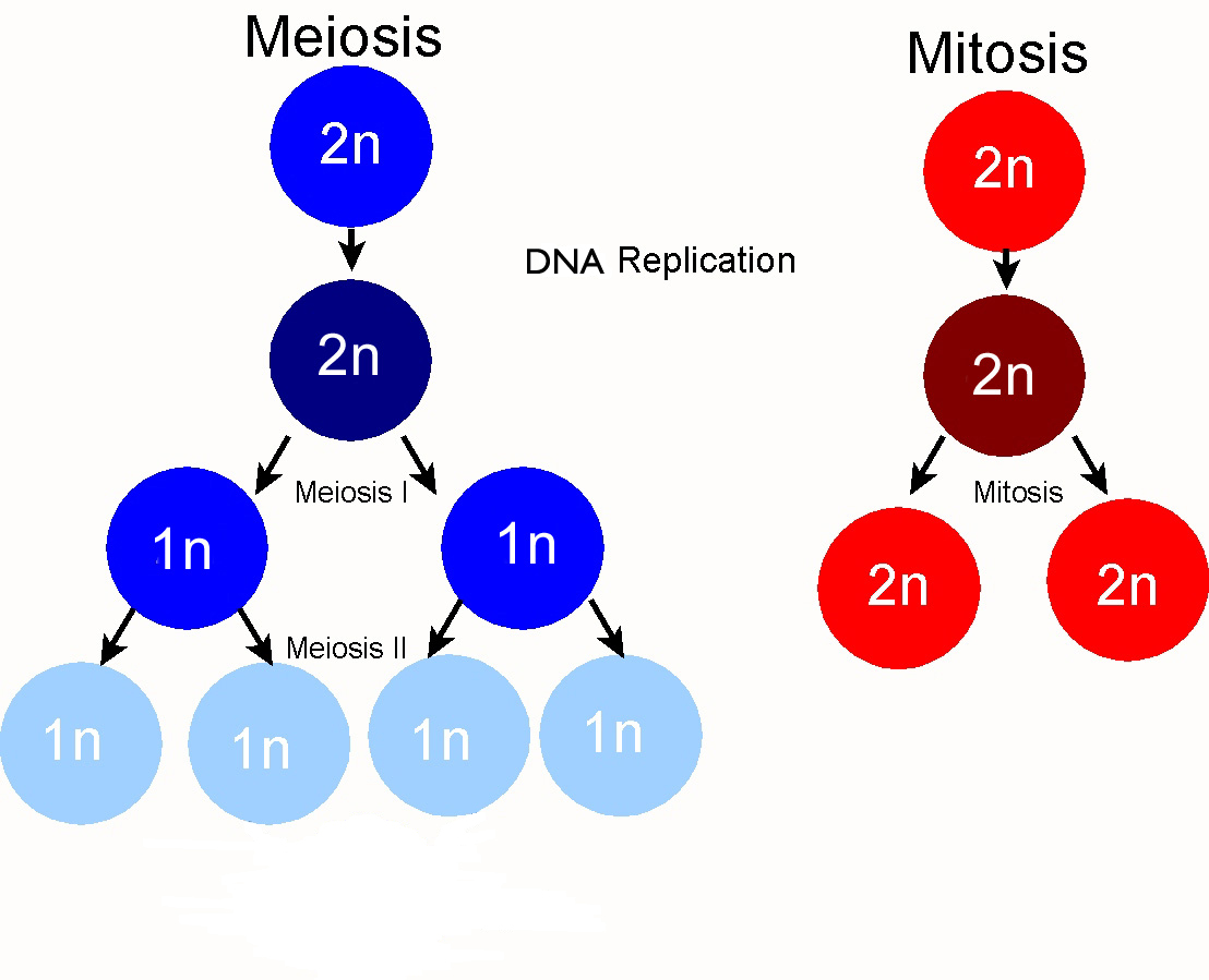 Some Differences Between Mitosis And Meiosis