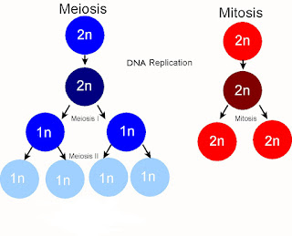 What is Mitosis and Meiosis