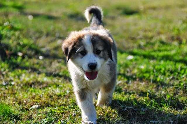 Έξι αμιγώς ελληνικές ράτσες σκύλων