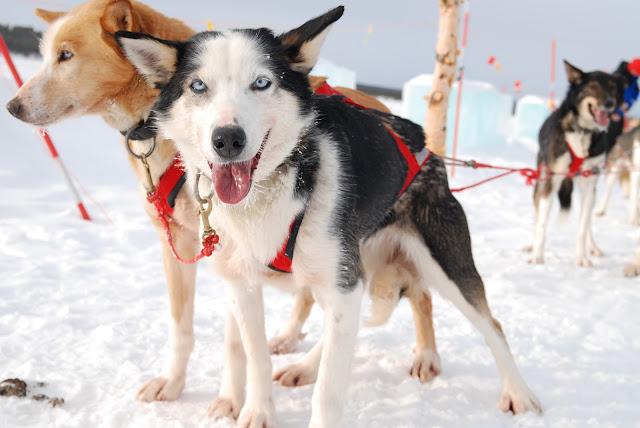 Hundeschlitten Hund Schlitten