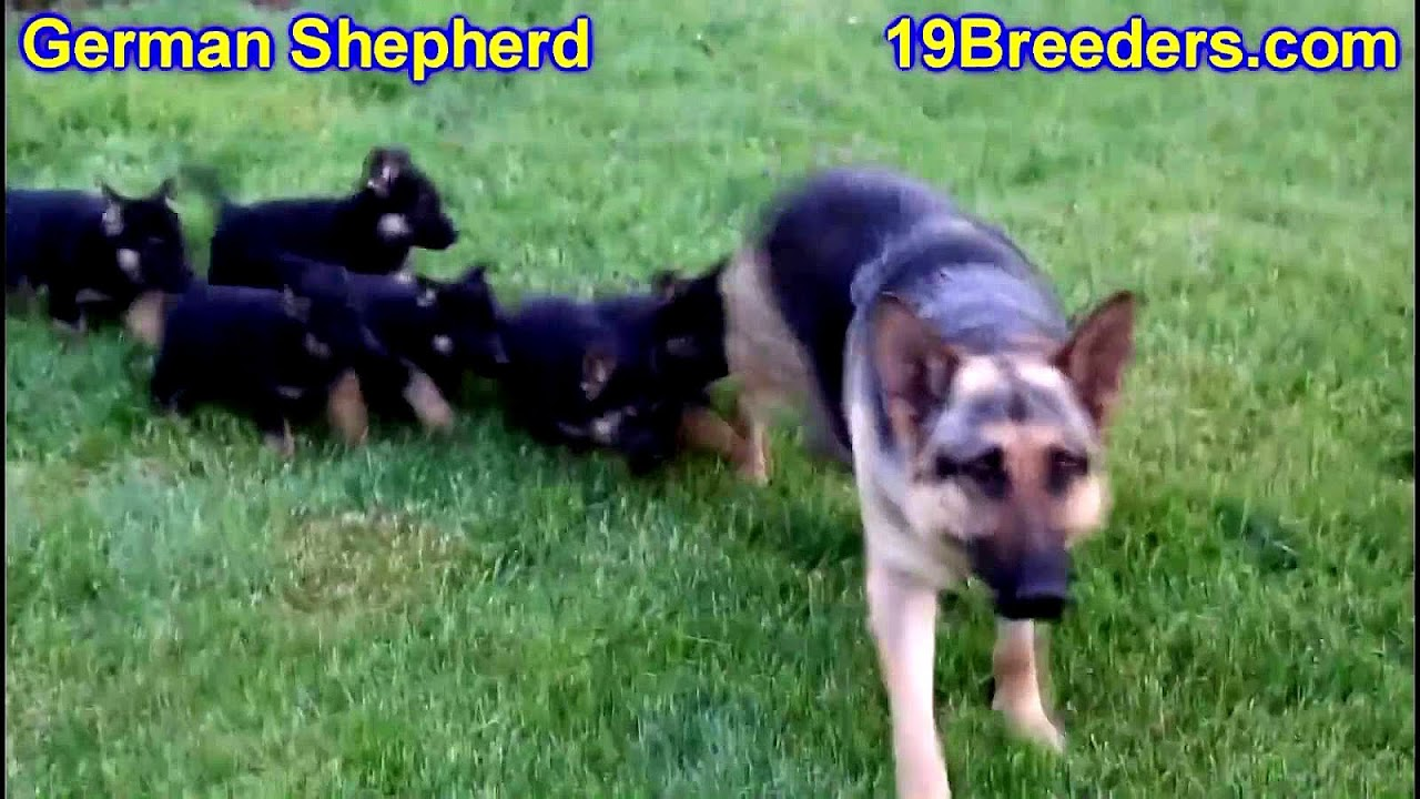 German Shepherd Puppies On Craigslist German Choices