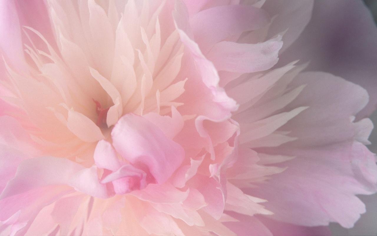 Wallpaper Zone: Pink Flower Wallpaper HQ