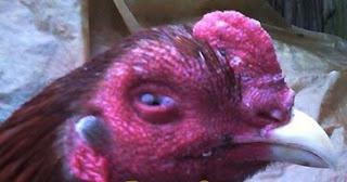 Cara Mengobati Mata Ayam Berbusa