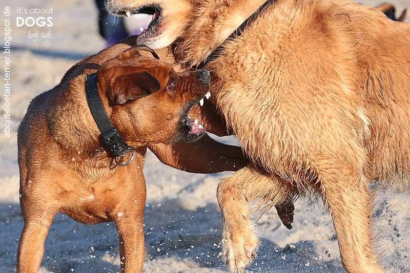 Spiel und Ernst bei Hunden ist oft wie bei diesen beiden Rüden schwer zu unterscheiden.