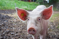 Amazing Facts About Pig in Hindi