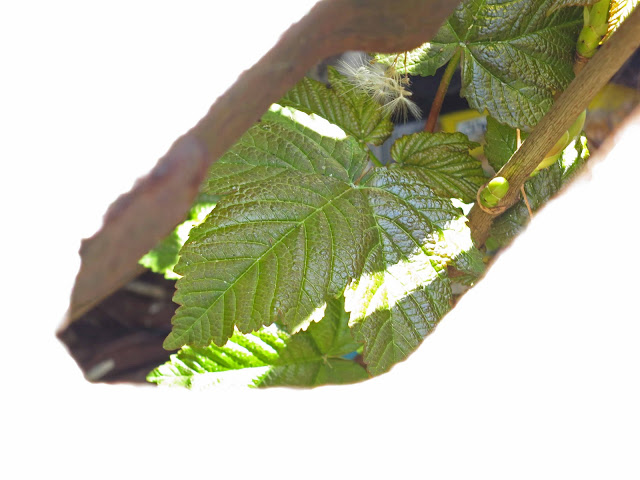 Sycamore tree in a drain, April 16th 2012. Green leaves and green leaf bud on twig.