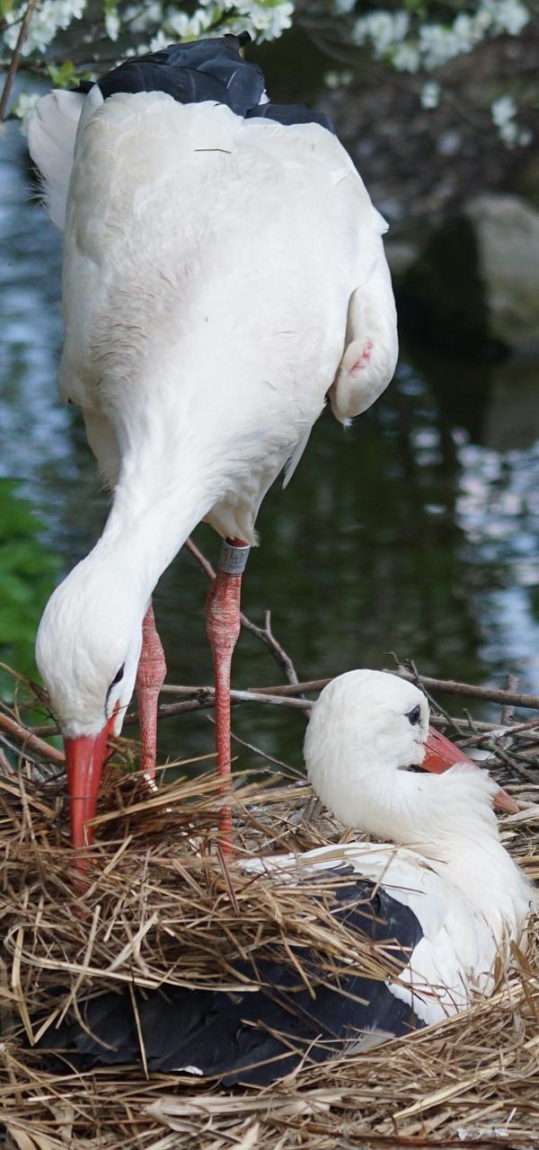 Storks Incubating.