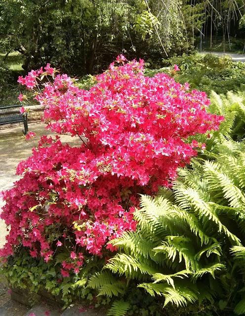 Azalee im Palmengarten