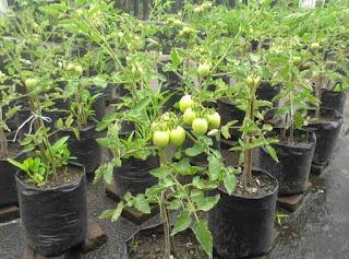 menanam sayur dengan sehat
