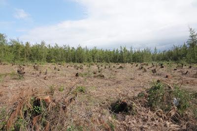 Quảng Ngãi Phá rừng dương chắn sóng để làm dự án trồng rau sạch
