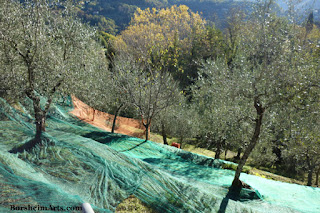 Terraced Land raccolta delle olive Harvest of the Olives Tuscany Setting out Nets
