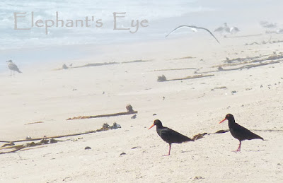 African black oystercatchers at Rocher Pan