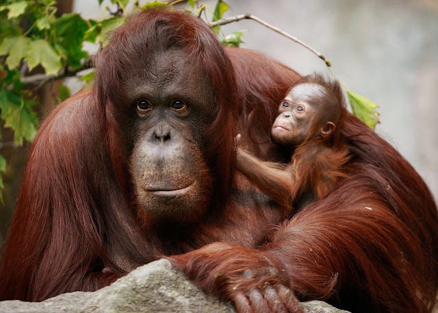 The endangered orangutan found only in the rainforest of borneo and sunatra