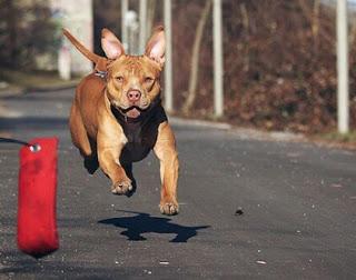Jenis Pitbull Petarung American pitbull terrier